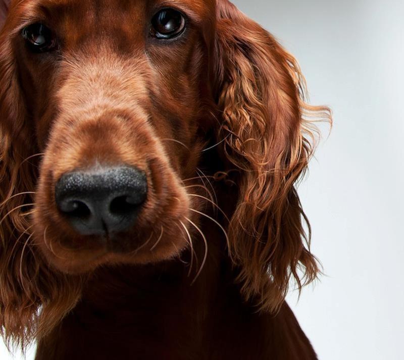 Портреты собак от Жерарда Чарльза Гетингса