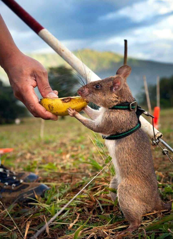 Гамбийские крысы, как лучшие саперы и вынюхиватели противопехотных мин (10)