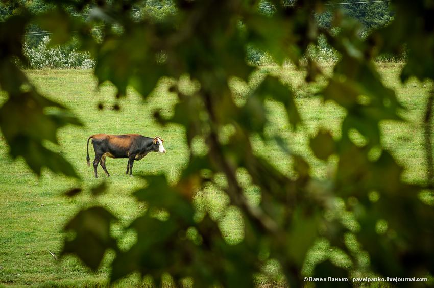корова животные pavelpanko