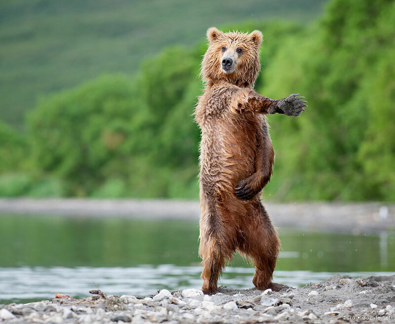 I like to move it, move it – или танцующий медведь