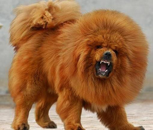 фото собак мастифы