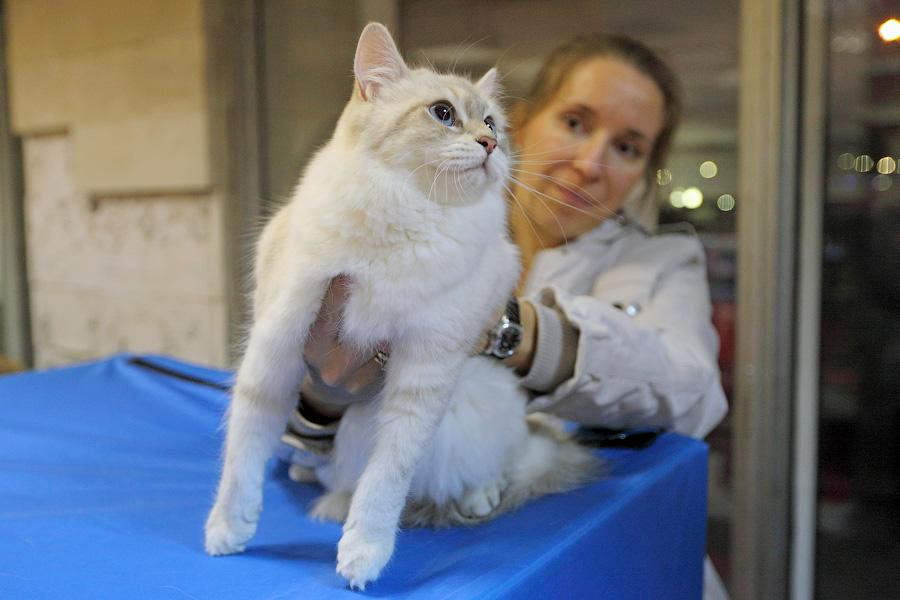 Кошка Jewel Hakuna Matata Невская маскарадная Родилась 16 декабря 2012 года Питомник Акуна Матата