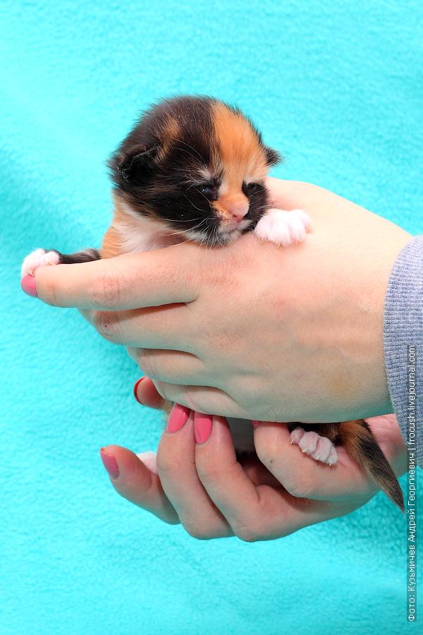 черепашка котенок