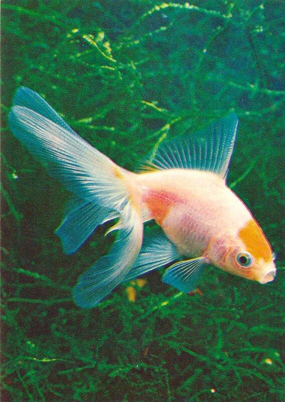 Золотая рыбка «красная шапочка» Carassius auratus auratus (Linne)