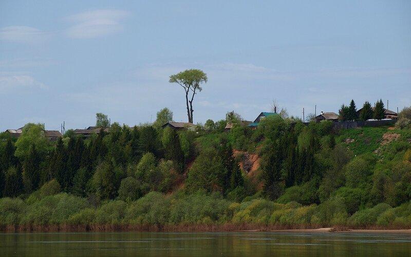 Приметное дерево-акация на высоком берегу Вятки P5172805