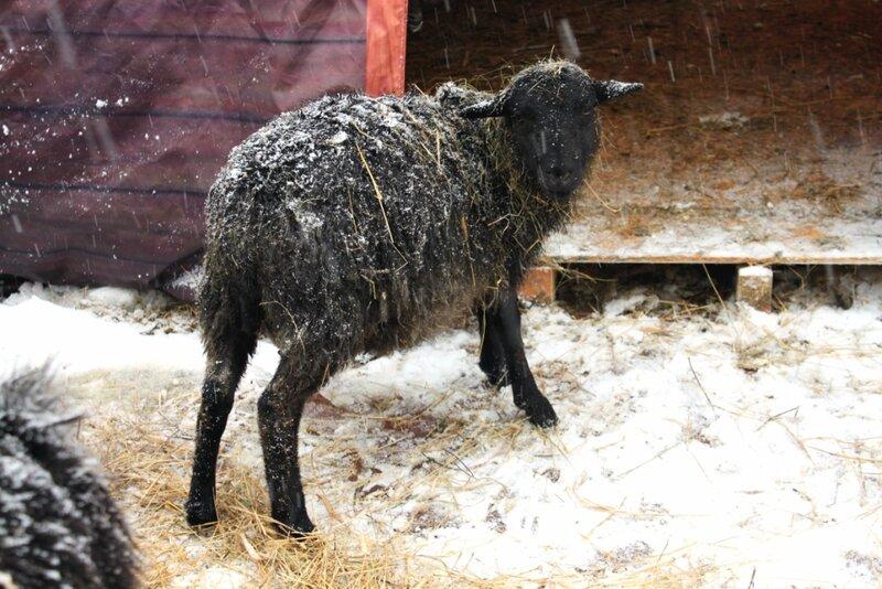 Овца в новогоднем поселке Киева