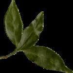 Lilas_btd_foliage4.png