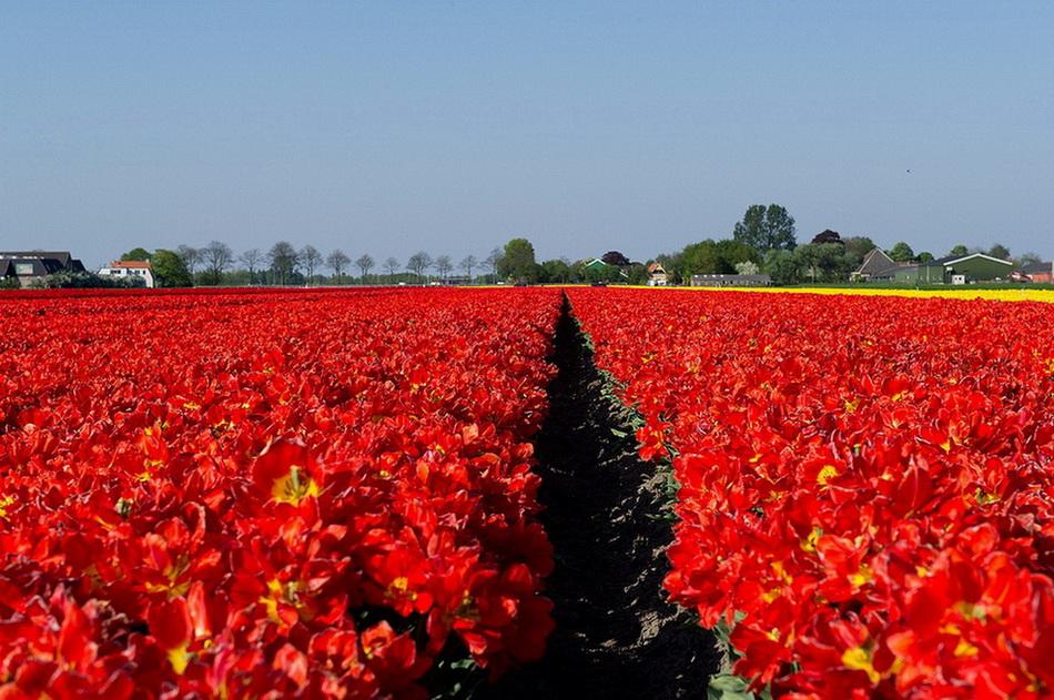 Над полями тюльпанов. 0_bcecb_fde3371e_orig