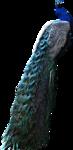 61788611_gdbird_peacock2.png