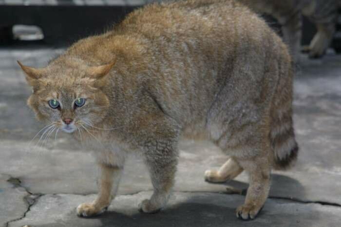 Китайская, гобийская, китайская пустынная, или китайская горная кошка