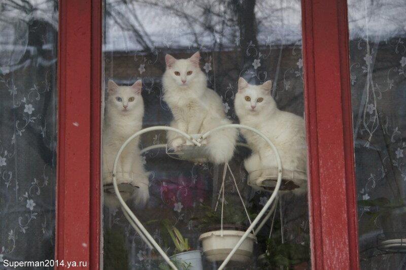 Три белых кошки на окошке