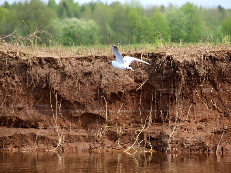 Озёрная чайка над обрывом P5172578