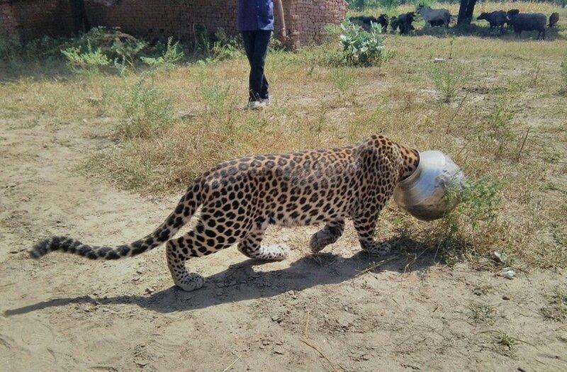В Индии спасли застрявшего головой в бидоне леопарда