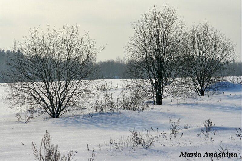 Три дерева в Муракино
