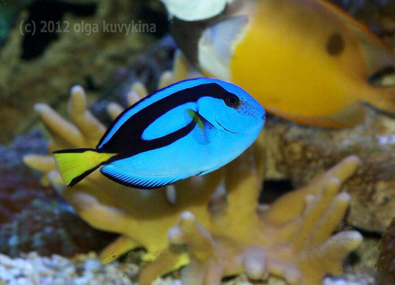 Голубой королевский хирург (Paracanthurus hepatus)
