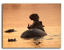 Кения. Hippos in the african river, evening sunset. Фото fottomtomas - Depositphotos