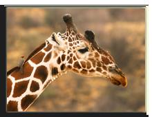 Кения. Масаи Мара. Фото  Yuri_Arcurs - Depositphotos