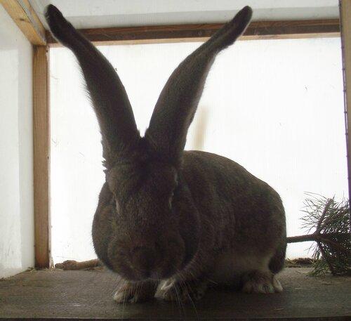 Бельгийский Великан(Обр,Ризен,Фландр) Кролики гиганты.часть 2 0_9a59d_a6159bcf_L
