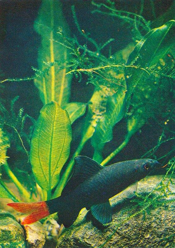 Лабео двухцветный Labeo bicolor (Smith)