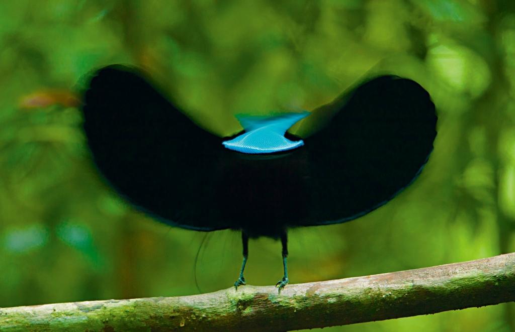 Райские птицы - тайны открываются