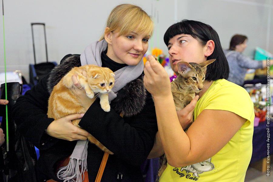 Скоттиш фолд (Шотландская вислоухая) и кот Lucky Ticket Jubatus Ориентальная