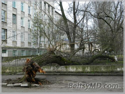В Бельцах в лицее им. М. Эминеску упало дерево