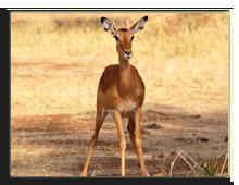 Кения. Масаи Мара. Фото dibrova - Depositphotos