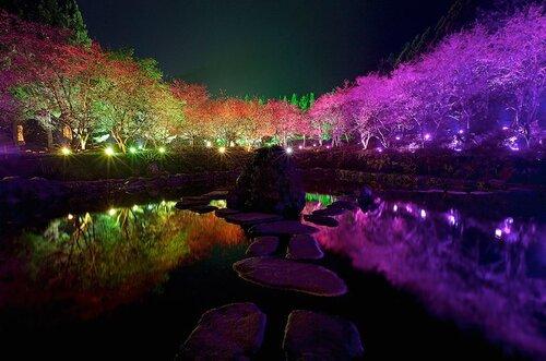 Цветущая сакура в Тайване