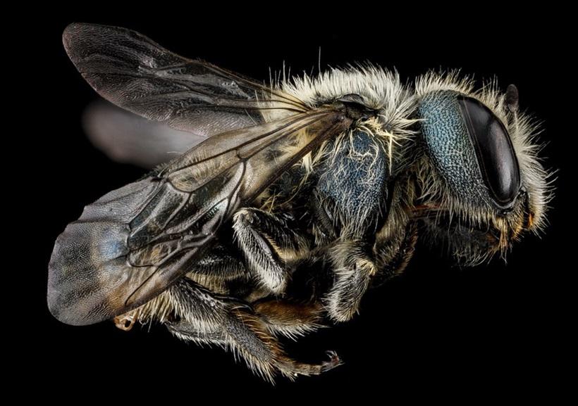 Макрофотографии разноцветных американских пчел 0 13d2a3 a4e3f479 orig