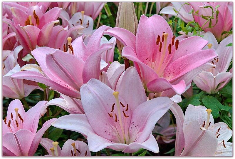 нежно розовая лилия фото гифка