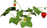 DBA STRAWBERRY PLANT 4.png