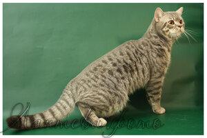 голубой серебристый пятнистый кот британская короткошерстная