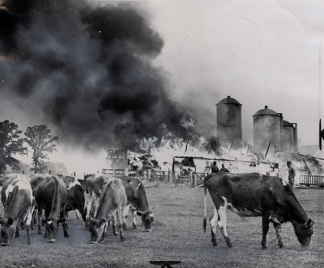Cattle graze peacefully while a nearby barn fire blazes on the White Plains Farm in Waterford, Wisconsin