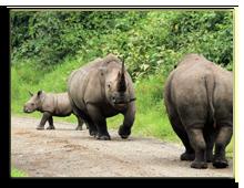 Кения. Озеро Накуру. White Rhinos (Ceratotherium simum) Jousting, Lake Nakuru, Kenya. Фото Andaman - Depositphotos