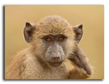 Кения. Озеро Накуру. The look of an olive baboon in amboseli national park. Фото faabi - Depositphotos