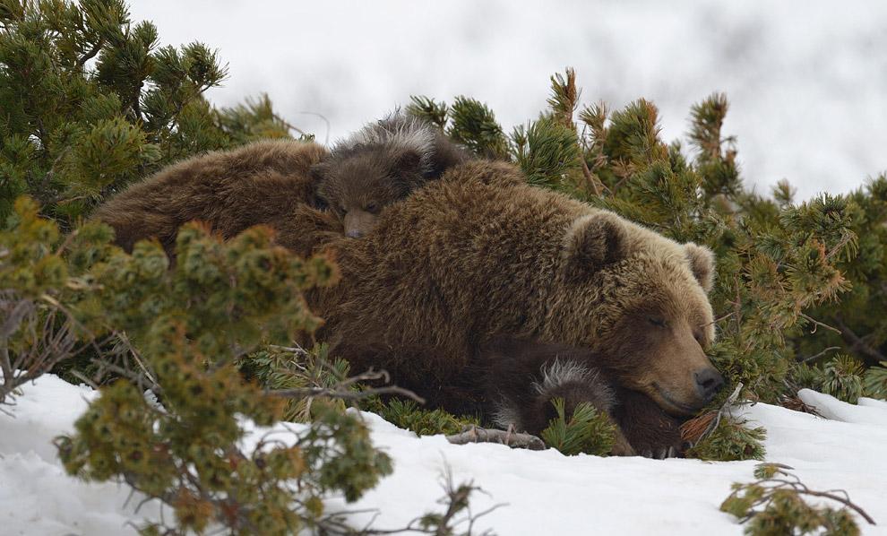 «Увидят ли зрители приключения медвежат или нет — во многом зависит от того, удастся ли собрать необ