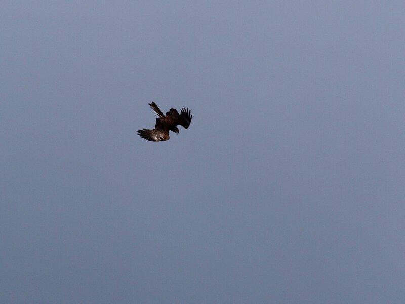 Чёрный коршун (Milvus migrans) P5021628.jpg