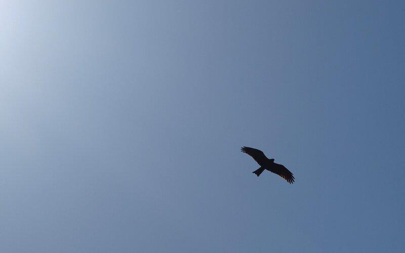 Чёрный коршун (Milvus migrans) P5172930.jpg