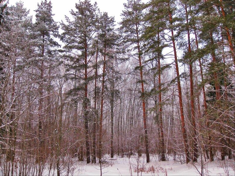 Сосны в снегу