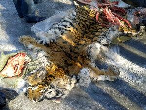 В Приморье задержаны граждане при попытке сбыта шкуры амурского тигра
