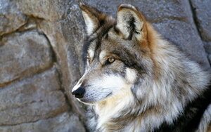 Во Владивостоке поимкой сбежавших волков займется специальная опергруппа