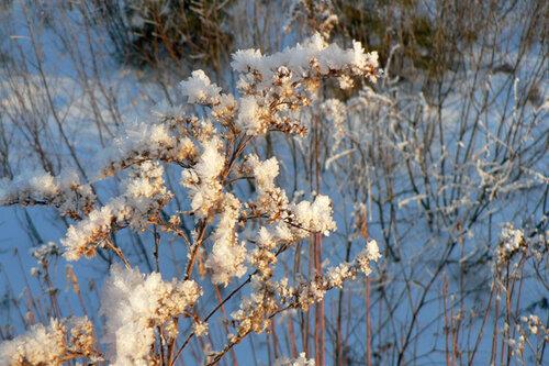зимняя прогулка мимоза