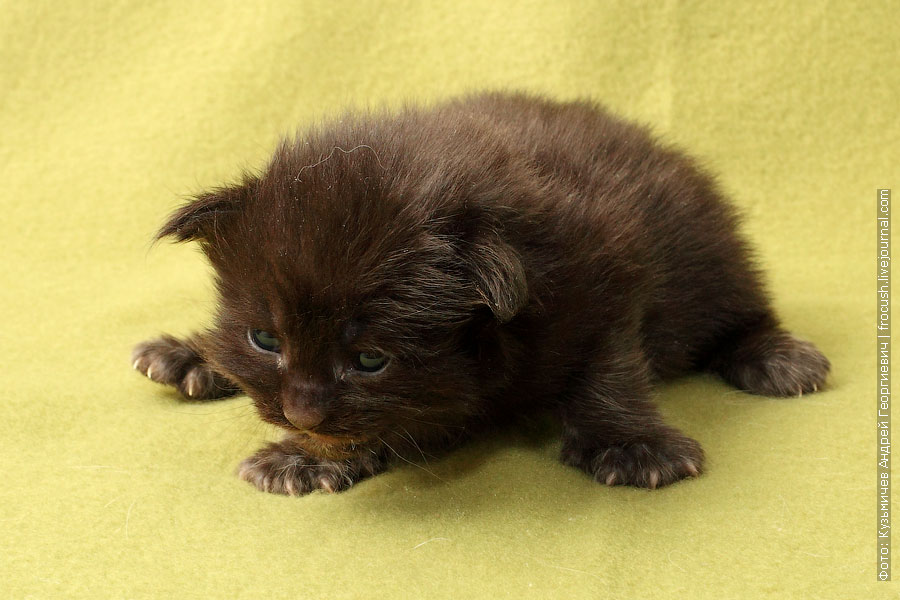 фотография котенок мейн кун черный