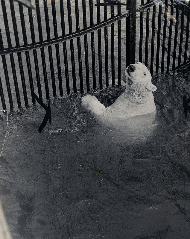 Enjoying a swim in below freezing weather, a polar bear at the Prospect Park Zoo takes a dip in his poo