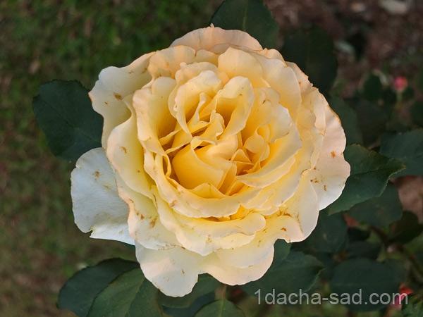 ароматные сорта роз флорибунда