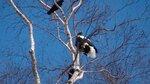 Белый орлан..jpg