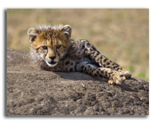 Кения. Cheetah cub, resting on its favorite rock. Masai Mara National Park, Kenya.  Francois_Gagnon - Depositphotos