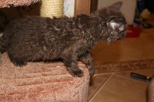 От двух КШ британцев родился кудрявый котенок 0_9191e_c9c1dbb9_L