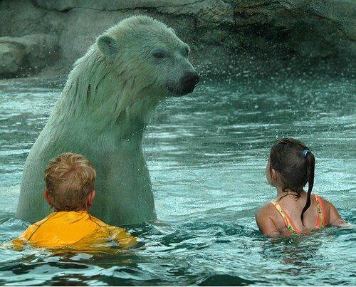 С полярными мишками в бассейне