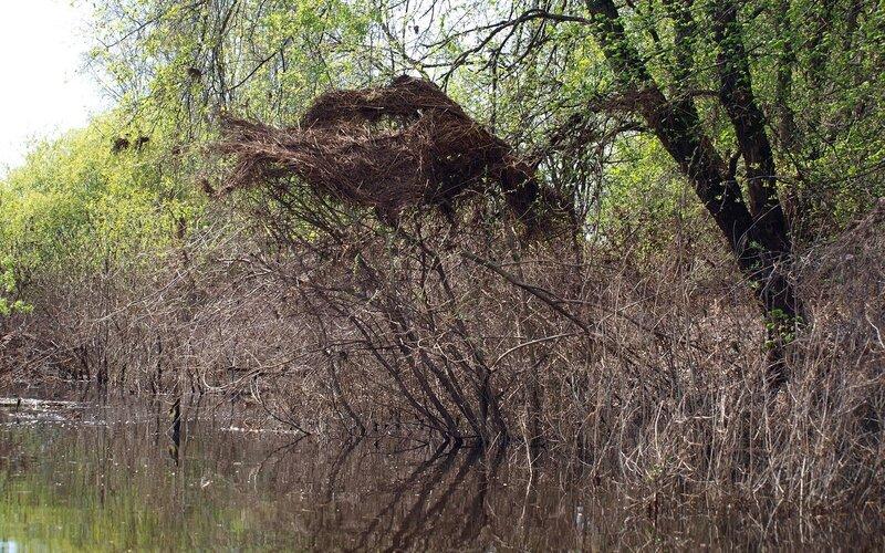 Мусор на ветвях, отмечающий уровень подъема воды P5172754